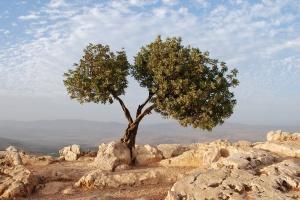 israel_tree